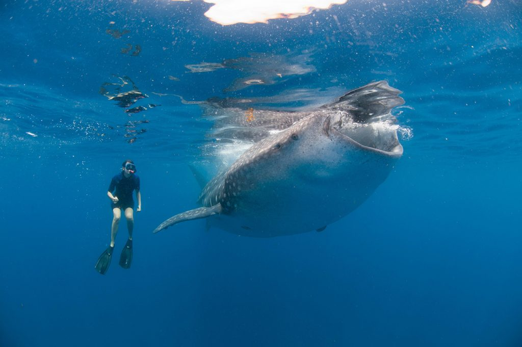 kika4868213_Underwater-view-of-snorkeler-watching-whale-shark-feeding-Isla-Mujeres-Quintana-Roo-Mexico-1024x680